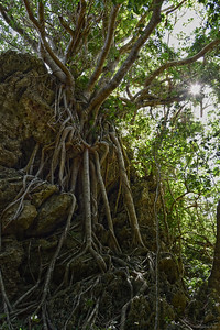 Banyan Tree in Kenting National Park