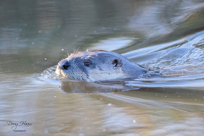 North American River Otter in the canal by the store, Monday morning 12/07/2020.