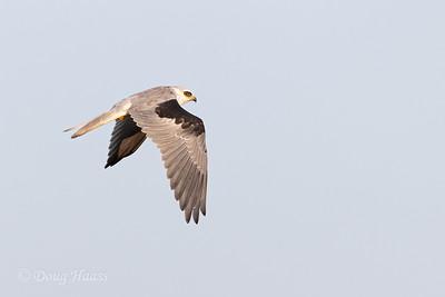 White-tailed Kite off Frozen Point Road 9/12/2020.