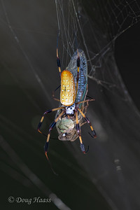 Golden Silk Spider female in the Woodlot with a Cicada for a meal 9/12/2020.