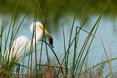 Great Egret (Ardea alba) in early morning light with a speared Bluegill (Lepomis macrochirus) fish.   In the canal to the west of Shoveler Pond in Anahuac NWR, Friday 8/07/2020.