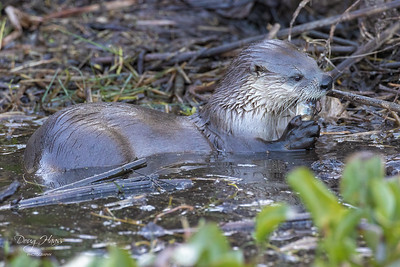 North American River Otter eating a fish as I watched, Monday morning 12/07/2020.