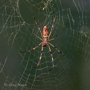 Golden Silk Spider female in the Woodlot 9/12/2020.