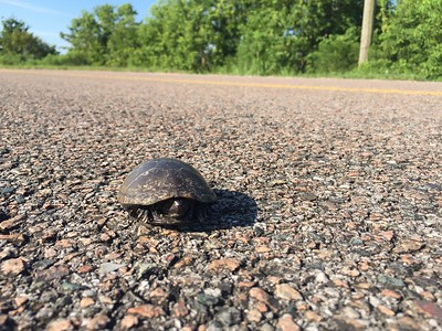 Mississippi Green Turtle I rescued from the road, Sunday morning as I was leaving the refuge. It was small.  8/02/2020