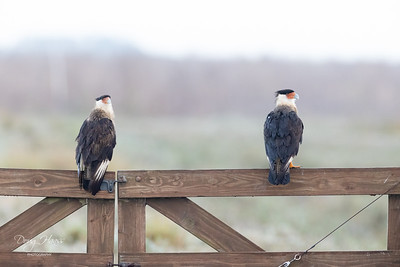 A Mated pair of Crested Caracara on the Hackberry boardwalk, Saturday morning 11/21/2020.