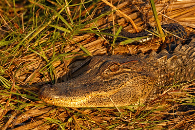 American Alligator off Frozen Point Road in front of Deep Marsh in late evening light 11/25/2020.