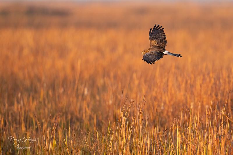 Northern Harrier out west of Shoveler Pond at sunrise on Sunday morning 12/27/2020.