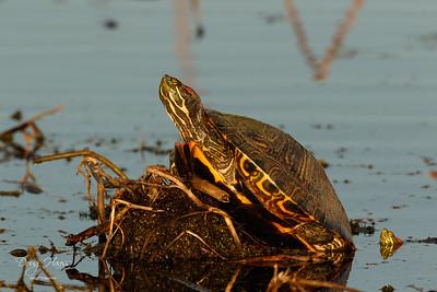 Red-eared Slider Turtles on Shoveler Pond in early evening light. 11/25/2020.