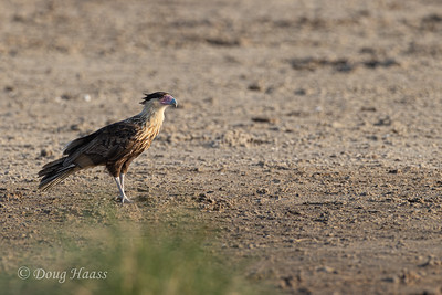 Crested Caracara juvenile on the hunt for food 9/19/2020.  They are typically carrion feeders.