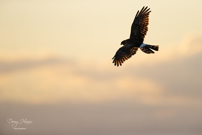 Northern Harrier over of Shoveler Pond at sunrise on Sunday morning 12/27/2020.