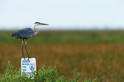 Great Blue Heron at Crab Corner off Frozen Point road 6/17/2017