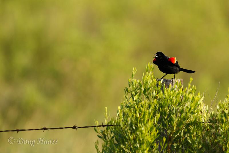 Red-winged Blackbird male  6/17/2017