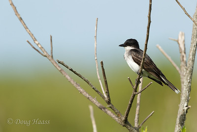 Eastern Kingbird 6/17/2017