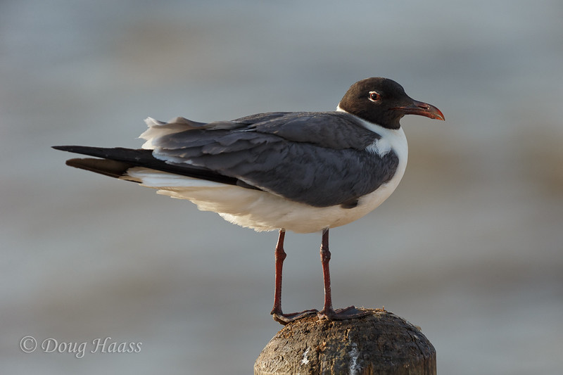 Laughing Gull at Frozen Point 6/17/2017