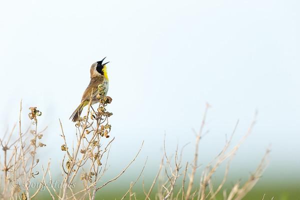 Common Yellowthroat male singing