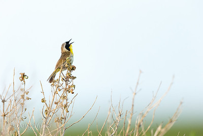 Common Yellowthroat male singing
