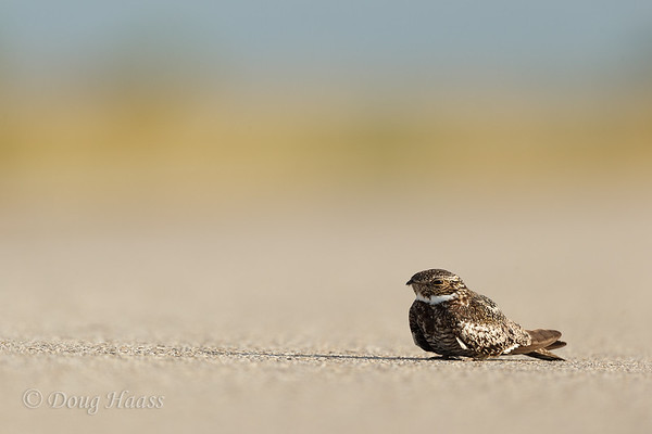 Common Nighthawk in the middle of Frozen Point road
