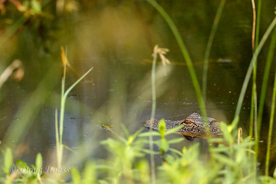 Small American Alligator