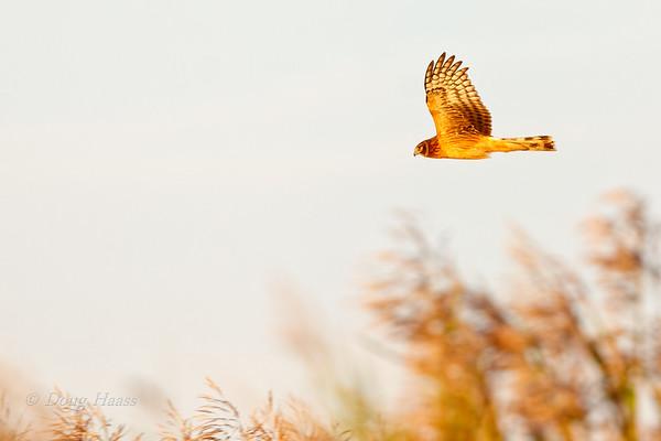 Northern Harrier hunting over Shoveler Pond 12/16/2018.