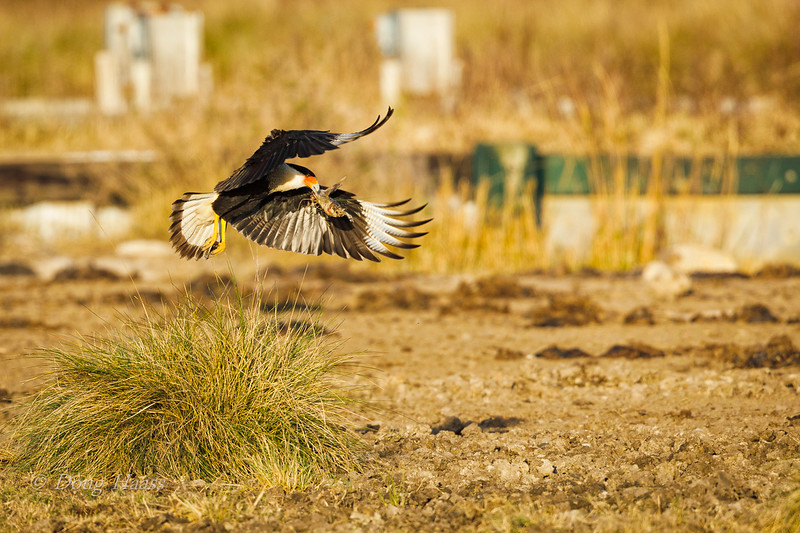 Crested Caracara taking off with a dead fish in its beak 12/20/2018.  They are carrion eaters.