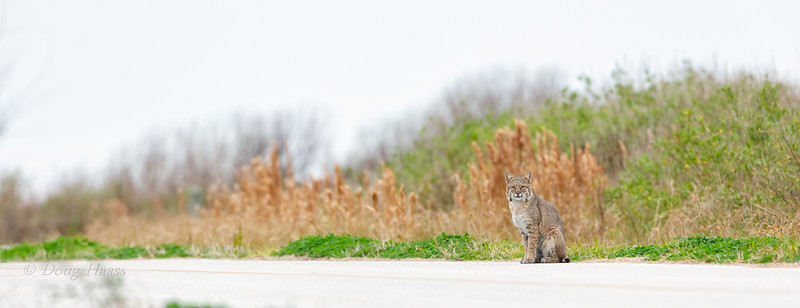 Adult female Bobcat watching me as I was lying down in the road taking photos from under my open truck door 12/29/2018.