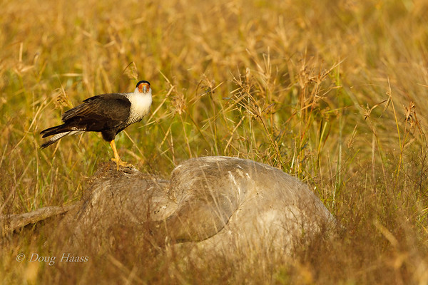 Crested Caracara on top of cow carcass 12/20/2018.