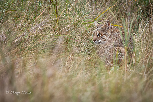 Adult female Bobcat resting in the grass on the side of the road, warily eyeing another photographer up on the road 12/29/2018.