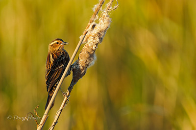 Female Red-winged Blackbird on cattail 12/16/2018.