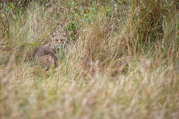 Adult female Bobcat resting in the grass on the side of the road, warily eyeing me taking photos 12/29/2018.