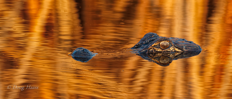 Young American Alligator with some colorful canal water 12/13/2019 afternoon.  The sun was reflecting off the background fall reeds.
