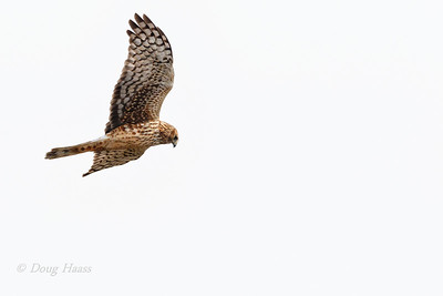 Northern Harrier hunting over Shoveler Pond 12/13/2019.