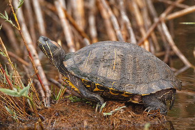 Older Red-eared Slider Turtle off Frozen Point Road near Crab Corner 12/28/2019.  Reminded me of a Buddhist monk meditating in a monastery.