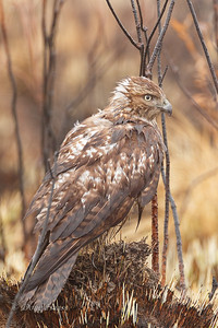 Juvenile Red-tailed Hawk perched on the ground off Frozen Point Road.  This area had been intentionally burned (managed) to eliminate the undergrowth to encourage new growth. 12/28/2019