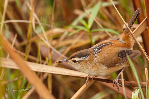 Marsh Wren off the Hackberry Boardwalk 12/28/2019.