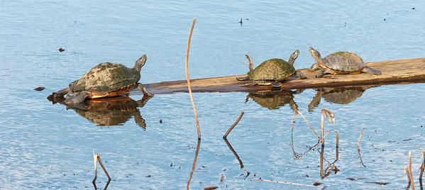 Unidentified Turtles in Shoveler Pond 12/13/2019.