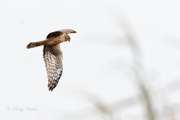 Northern Harrier hunting over Shoveler Pond 12/13/2019.