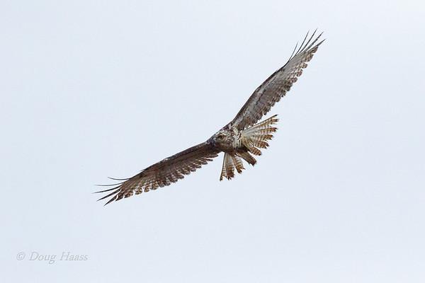 Red-tailed Hawk in flight near the boardwalk at Hackberry Trail 12/28/2019.  Very foggy morning.