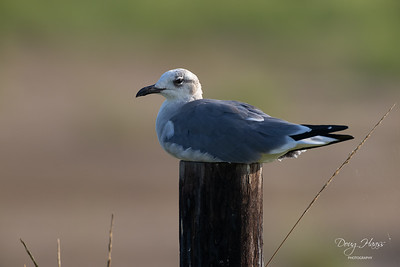 Unidentified Gull on a fence post out by Frozen Point, Saturday morning 9/18/2021.