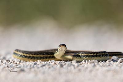 Western Ribbon snake on Frozen Point Road, Saturday morning 9/11/2021.