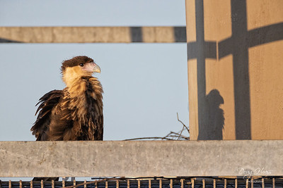 Immature Crested Caracara near its nest  late evening 5/14/2021.