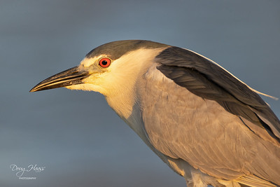 Black-crowned Night Heron in late evening light at Frozen Point 5/14/2021.