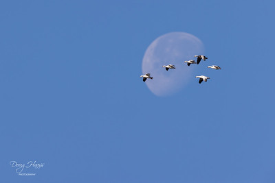 Snow Geese making their way across the face of the setting moon, Sunday morning 01/03/2021.
