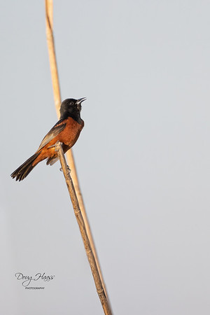 Adult male Orchard Oriole off Frozen Point Road in the reeds along the road, Friday evening 5/14/2021.0