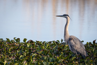 Great Blue Heron fishing on the canal before Shovelers Pond, Saturday morning 01/09/2021.