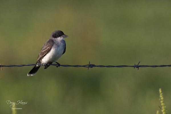 Eastern Kingbird along Frozen Point Road, Friday evening 5/14/2021.