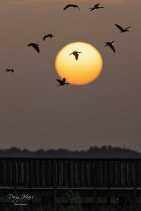 Sunrise Ibis silhouette over Shoveler Pond Saturday morning 7/24/2021.