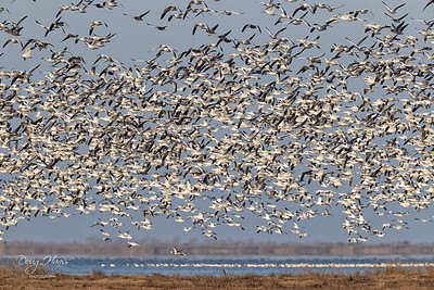 Snow Geese taking off on East Bay 01/09/2021.  A roving Bald Eagle triggered the liftoff.