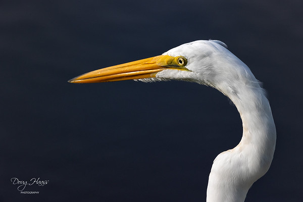 Great Egret (Ardea alba) at the edge of Shoveler Pond in Anahuac NWR with some nice early morning light.  It was not interested in hunting, so I settled for a portrait.   Monday 10/04/2021.