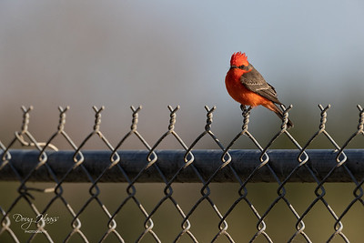 Adult male Vermilion Flycatcher on the fence across from the store, Saturday morning 01/09/2021.