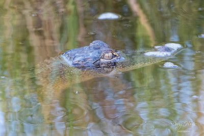 A small 3 foot American Alligator off Frozen Point Road, Sunday morning 9/05/2021.
